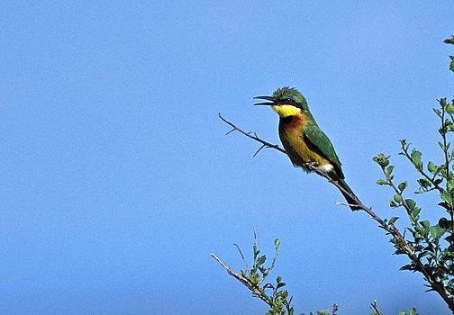Little Bee-Eater Bird by Tina Manley