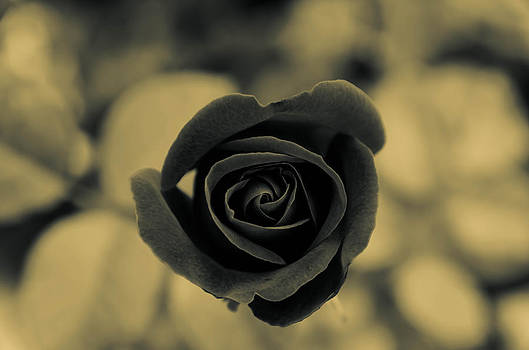 Little black rose. by Slavica Koceva