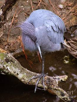 Christine Stack - Little Blue Heron All Tucked In