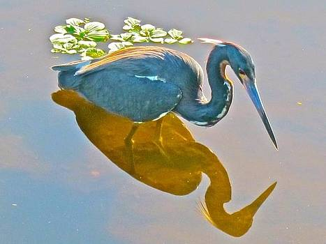 Little Blue Heron Hunting by Kathryn Barry