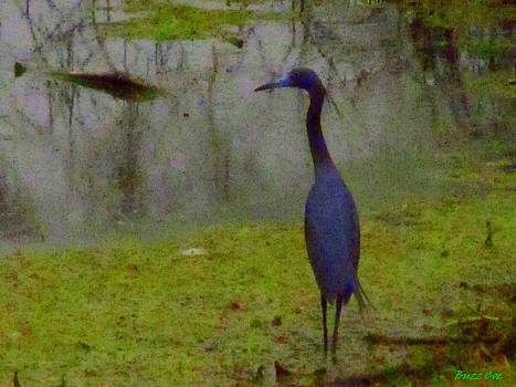 Buzz  Coe - Little Blue Heron I