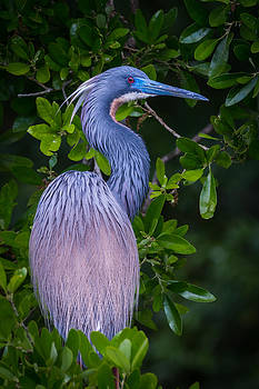 Little Blue Heron by Mike  Walker