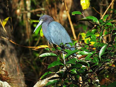 Little Blue Heron Series by Bill Marder