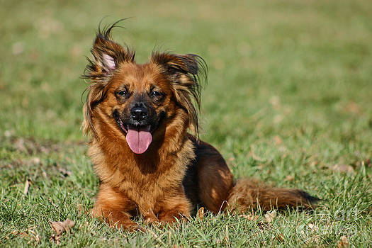 Little Brown Mixed Breed Dog On Green Meadow by Doreen Zorn
