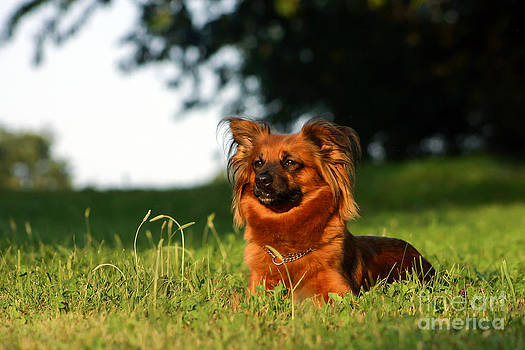 Little Brown Mixed Dog Lying In Green Meadow by Doreen Zorn