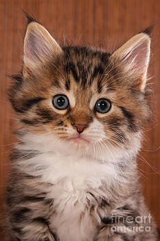 Little Cat Kitten Portrait by Doreen Zorn