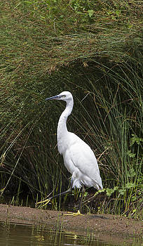Little Egret by Bob Kemp
