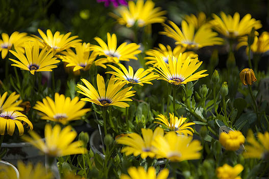 Little field of Yellow daises by Chad Davis