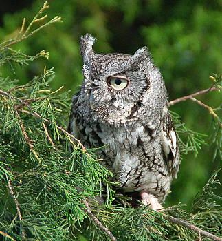 Little Grey Screech Owl by Janet Maloy