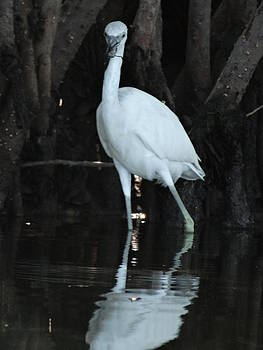 Frederic BONNEAU Photography - Little Immature Blue Heron
