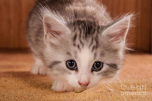 Little Kitten by Doreen Zorn