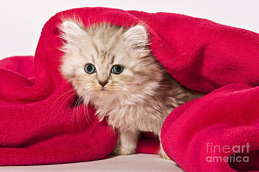 Little Kitten With Pink Blankie by Doreen Zorn