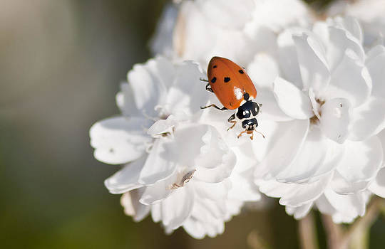 Little Ladybug on Baby's Breath by Kathryn Whitaker