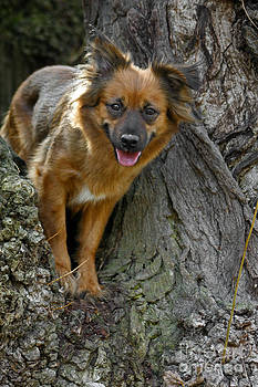 Little Mixed Brown Dog Standing In A Tree by Doreen Zorn