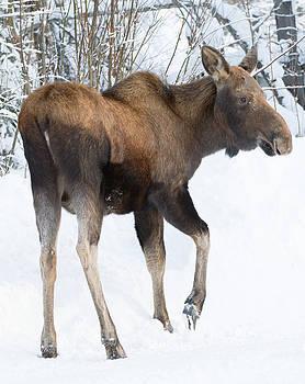 Dee Carpenter - Little Moose