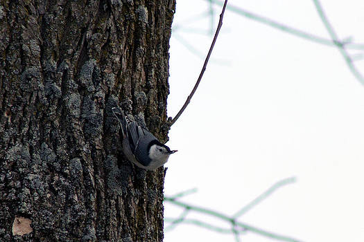 Little Nuthatch by Rhonda Humphreys