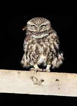 Little owl  by Dean Eades