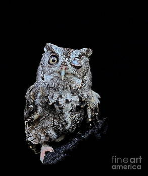 Wayne Nielsen - Little Owl Winks Eye in Darkness