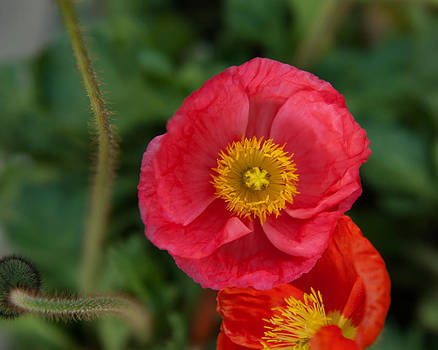 Little pink Iceland Poppy by Sammy Miller