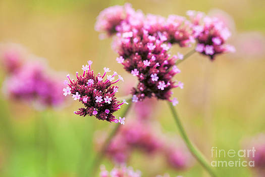 Little Pinks by Mary  Smyth