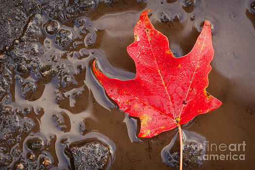 Little Red Leaf Floating In A Puddle by Sharon Dominick