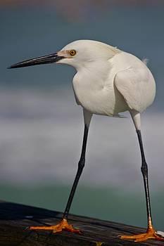 Amazing Jules - Little White Crane