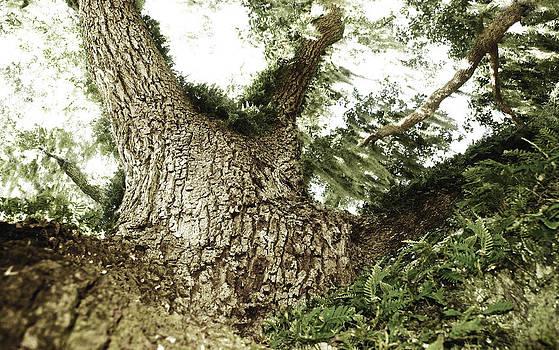 Live Oak by Jessica Snyder