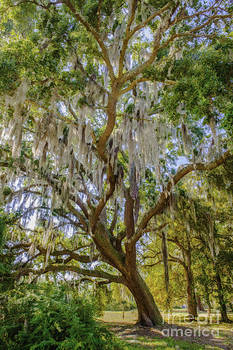 Dale Powell - Live Oak Tree on the Grounds of East Cooper Hospital