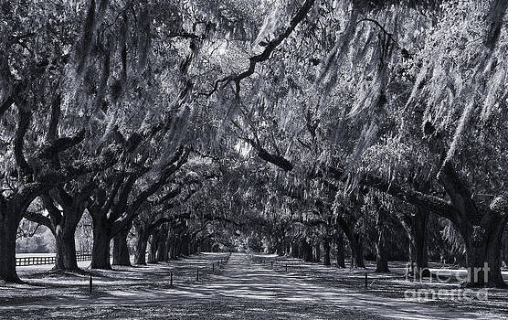 Jill Lang - Live Oaks in Cynotype