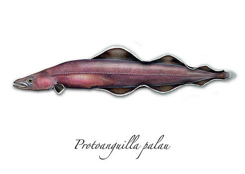 Living fossil eel - Protoanguilla palau by Urft Valley Art