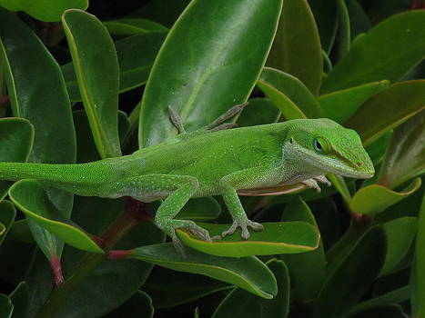 Lizard on bush by Pamela Morrow