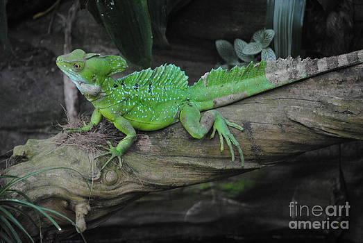 TChamberlin Photography - Lizard Resting