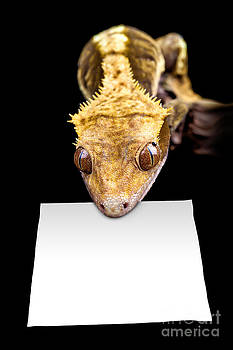 Simon Bratt Photography LRPS - Lizard with blank sign