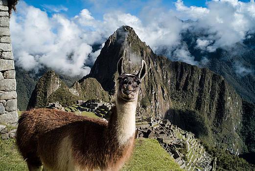 Llama at Machu Picchu by Tina Manley