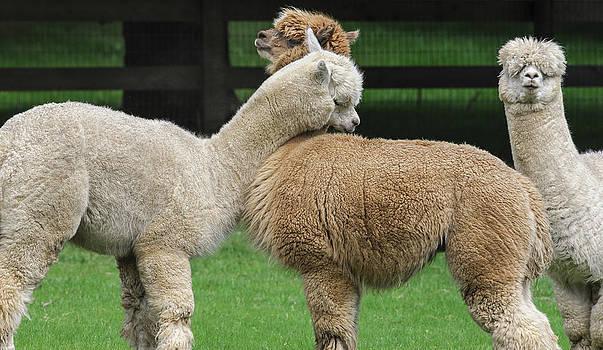 Llama Hug by Paul W Sharpe Aka Wizard of Wonders