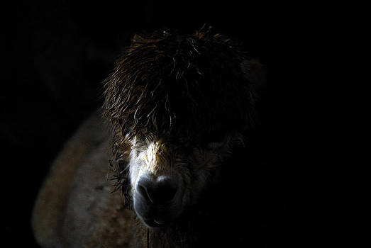 Llama by Jacob Beck