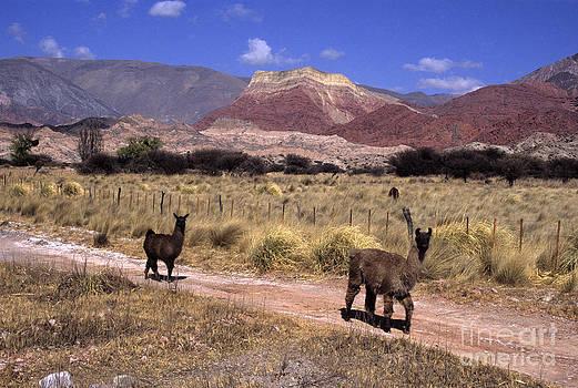 James Brunker - Llamas and Cerro Yacoraite Argentina