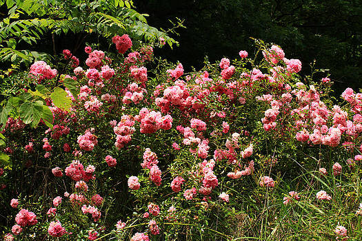 Lock Haven roses by Jim Cotton