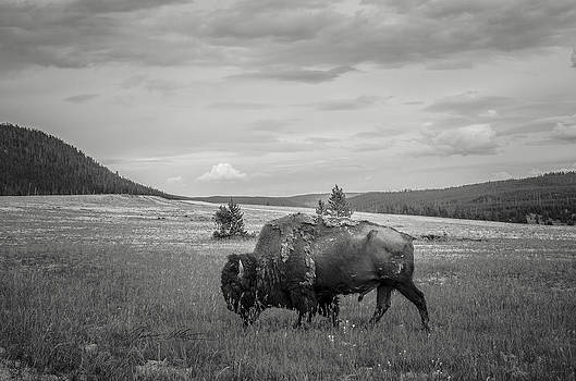Lone Buffalo by Off The Beaten Path Photography - Andrew Alexander