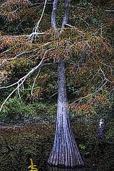 Joe Bledsoe - Lone Cypress