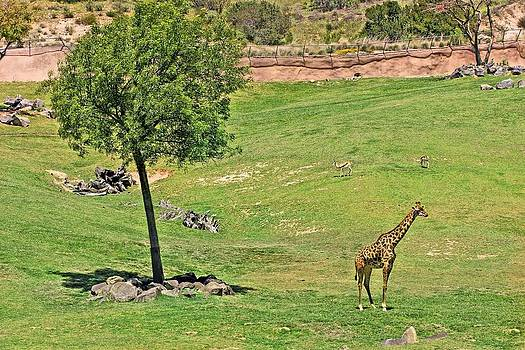 Jane Girardot - Lone Giraffe