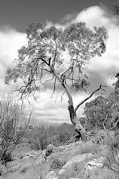 David Rich - Lone Gum Tree in Black and white