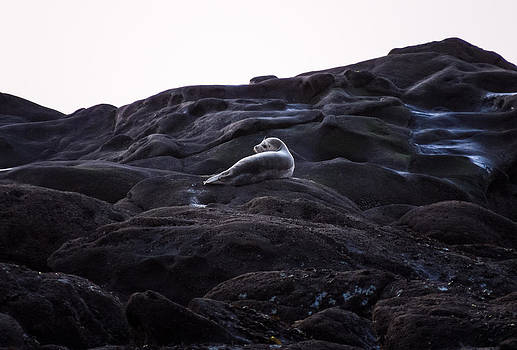 Lone Harbor Seal by Kristal Talbot
