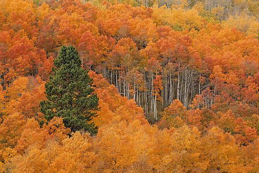 Scott Wheeler - Lone Pine in Aspen