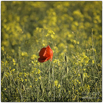 Lone Poppy in Rape Seed by George Hodlin