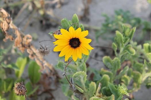 Lone Sunflower on the Beach by Lorri Crossno