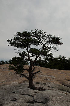 Lone Tree in Stone Mountain State Park North Carolina by Bruce Gourley