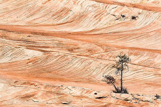 John McArthur - Lone tree in the swirling sandstone