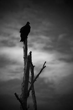 Lone Vulture by Bradley R Youngberg