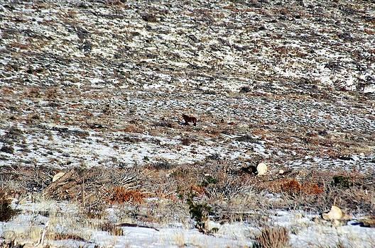 Lone Wild Stallion after BLM Roundup by Craig Downer